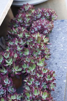 'Red Velvet' Succulents - So unique! http://rogersgardens.com/outdoor-gardens-garden-rooms/