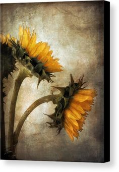 Vintage Sunflowers Canvas Print / Canvas Art by John Rivera Sunflower Canvas, Sunflower Paintings, Sunflower Patch, Sunflowers And Daisies, Sun Flowers, Autumn Flowers, Sunflower Pictures, Images Vintage, Sunflower Wallpaper