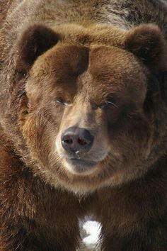 Grizzly Bear!