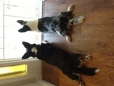 Augie and Roxie...our cardigan welsh corgis