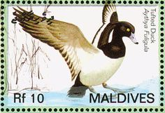 Tufted Duck stamps - mainly images - gallery format