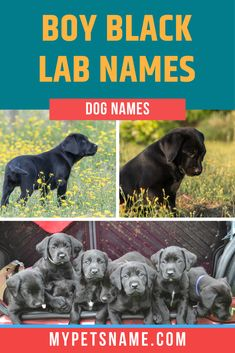 Merlin' is a magical name that was used for the Black Lab in the Australian TV series Merlin the Magical Puppy. It is also a classic and beautiful choice for anyone looking for a vintage name. Find other such vintage boy Black Lab names in our list, check it out!  #boyblacklabnames #blacklabnames #boyblacklabradornames Male Pet Names, Boy Dog Names, Puppy Names, Black Labs Dogs, Black Lab Puppies, Black Labrador, Vintage Names, Vintage Boys, Black Lab Names