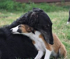 Do you consider you realize everything about our canine companions? Take a look at these 10 surprising facts about dogs. Beautiful Dog Breeds, Beautiful Dogs, I Love Dogs, Cute Dogs, Borzoi Dog, Whippets, Animals And Pets, Cute Animals, Russian Wolfhound