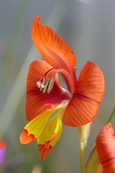 ~~gladiolus alatus by jeffs bulbesetpots~~