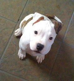 American Pitbull – All You Want to Know About This Breed – Pets and Animals Amstaff Terrier, Pitbull Terrier, Terrier Dogs, Cute Puppies, Cute Dogs, Dogs And Puppies, Pit Bull Puppies, Doggies, Perros Pit Bull