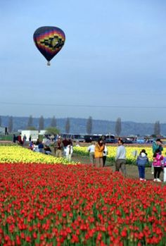 Skagit Valley Tulip Festival 2015: A Guide for Visitors: Getting To & Getting Around the Skagit Valley Tulip Festival