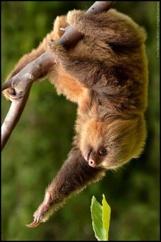 Hoffman's Two-toed Sloth (Choloepus hoffmanni) Reaching for a leafy meal. by Paul Bratescu