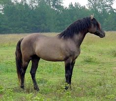 STORMWASHED (Robbi-Sue's Sweet Success X DBF Black Nightcloud), 1996 grulla stallion owned by Barb Laudenslayer, Boyertown, PA. Photo by Laura Behning.