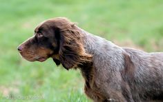 Breed of the Week: The Picardy Spaniel Wirehaired Vizsla, Dog Mixes, Weimaraner, Hunting Dogs, Dog Boarding, Mans Best Friend, Best Dogs, Dog Breeds, Cute Pictures