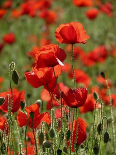 Sunlight and poppies