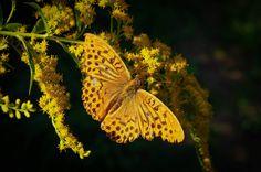 Kaisermantel Butterfly by Ralf Bessoth, via 500px