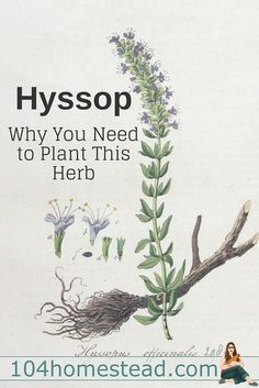 Hyssop (Hyssopus officinalis) is a member of the mint family and you'll want to make room for it in your herb garden this year.
