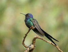 colibri golondrina