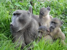 Chacma Baboons by Baboon Matters News Articles For Kids, Kids News, Have A Good Sleep, Baboon, Primates, Old World, Activities For Kids, The Incredibles, Cape
