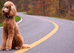 Animals dogs roads poodle dogs, roads, poodle) via www. Seattle Dog, Red Poodles, French Poodles, Pet Hotel, Dog Travel, Family Dogs, Golden Dog, Dog Life, Dog Mom