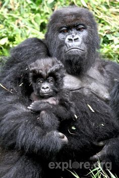 Endangered Animals - explore You are in the right place about animal facts strange Here we offer you All About Animals, Animals And Pets, Baby Animals, Funny Animals, Cute Animals, Gorillas In The Mist, Baby Gorillas, Beautiful Creatures, Animals Beautiful