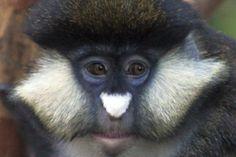 Cercopithecus ascanius guenon monkey