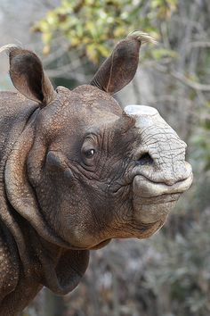 Indian Rhino, even w/o the horn still a beautiful animal