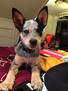 Australian cattle dog puppy I Love Dogs, Cute Dogs, Australian Cattle Dog Puppy, Dogs And Puppies, Doggies, Dog Mom, Best Dogs, Fur Babies, Dog Lovers