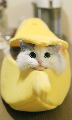 👕Shop Apparel For Cat Lovers 💗👇 Cute Cat Memes, Funny Cute Cats, Cute Baby Cats, Cute Cats And Kittens, Cute Funny Animals, Cute Baby Animals, Kittens Cutest, Pretty Cats, Beautiful Cats