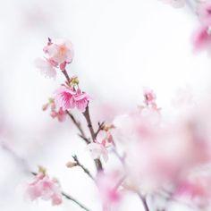 【makito_nk】さんのInstagramをピンしています。 《おはようございます。 桜の色って心が浄化される、そんな気がする。  #桜 #花 #はなまっぷ #wp_flower #wp_まっぷはなまつり #沖縄 #okinawa #写真 #カメラ #camera #写真撮ってる人と繋がりたい #写真好きな人と繋がりたい #ファインダー越しの私の世界 #instagood #instagramjapan #PHOS_JAPAN #as_archive #team_jp_ #team_jp_flowers #whim_life #bestjapanpics #pics_jp #haru_pics #IGersJP #reco_ig #nikonD300》