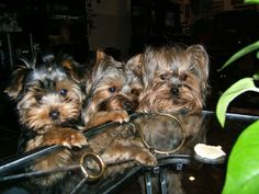 Yorkshire Terriers.  Can someone help us get that chew toy?
