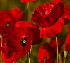 Red poppies greeting card for sale by bruce frye flowers flower photograph red weed by peter byzdra on mightylinksfo