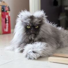 """The Famous """"Colonel Meow"""" --- there's simply not another cat that looks quite like him."""