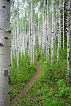 Aspen Glade trail. Beaver Creek Mountain, Colorado. Photo: Erik Proano #freeride