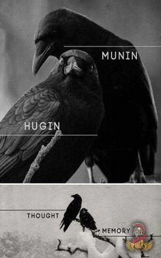 """In Norse Mythology, Hugin (""""thought"""") and Munin (""""memory"""" or """"mind"""") are a pair of ravens that are the shamanic helping spirits of the god Odin. These informants are two of the many sources of Odin's prodigious wisdom and it is from this associated that O Thor, Norse Pagan, Odin Norse Mythology, Crows Ravens, Asatru, Viking Symbols, Norse Vikings, Gods And Goddesses, Mythical Creatures"""