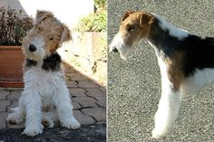Fox Terrier.Informal OR formal- Informal for me