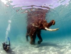 Underwater photograhper Jeff Yonover fins vigourously to keep pace with Rajan the Indian Elephant Underwater Bubbles, Dramatic Photos, Underwater Photographer, Indian Elephant, Photography Guide, Amazing Pics, Awesome, Gentle Giant, Under The Sea
