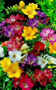 Colorful freesia flowers - Gifts For Love Beautiful Flowers Pictures, Beautiful Flowers Wallpapers, Beautiful Flowers Garden, Beautiful Flower Arrangements, Exotic Flowers, Flower Pictures, Amazing Flowers, Beautiful Roses, Pretty Flowers