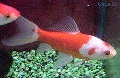 Goldfish Varieties: Common Goldfish