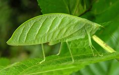 the leaf-insect