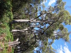 tasmanian black peppermint - Google Search Native Plants, Garden Plants, Peppermint, New Homes, Google Search, House, Black, Mint, Home
