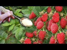 ВСЕГО ОДНА ЛОЖКА И МАЛИНОЙ ЗАВАЛИЛО ВЕСЬ ОГОРОД - YouTube Summer House Garden, Home And Garden, Diet And Nutrition, Strawberry, Fruit, Vegetables, Sodas, Botany, Strawberry Fruit