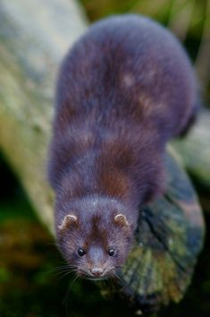 American Mink at the British Wildlife Centre by Peter G Trimming