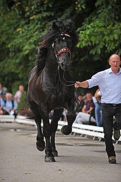 Noriker stallion Einstein Nero XIII Draft Horse Breeds, Draft Horses, Noriker Horse, Suffolk Punch, Black Stallion, Blue Roan, Black Horses, Clydesdale, Cat Names