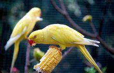 عکس پرنده طوطی زرد yellow parrot eating