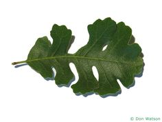 valley oak (Quercus lobata) leaf