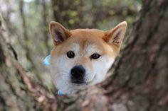 Shiba Inu - Non-Sporting Dog.