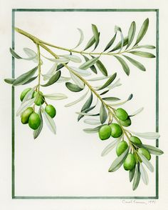 OLIVE - Carol Lerner. Appeared in A Biblical Garden, 1982. Watercolor.