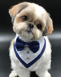 """Obtain great tips on """"shih Tzu dogs"""". They are on call for you on our web site. Shitzu Puppies, Shih Tzu Puppy, Cute Dogs And Puppies, Shih Tzus, Doggies, Dog Haircuts, Dog Clothes Patterns, Pet Fashion, Dog Dresses"""