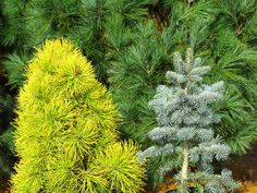 Pinus contorta var. latifolia 'Chief Joseph' & Abies lasiocarpa 'Blue Bear' make a breathtaking winter combo!