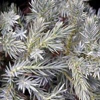 Blue Star Juniper Shrubs