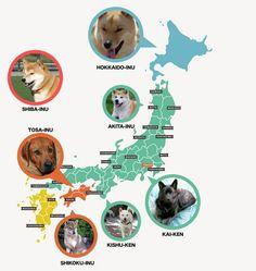 Raças de cães de origem japonesa. Certa vez, alguém me perguntou sobre cães de origem japonesa. Resolvi então fazer uma matéria sobre o assunto. Segundo o Wikipédia, existe 11 raças japonesas: Akita Inu, Hokkaido Inu, Shiba Inu, Shikoku Inu, Kishu Ken, Kai Ken, Tosa Inu, Karafuto Ken (Sakhalin Husky), Terrier Japonês, Chin Japonês e Spitz Japonês.  Algumas raças de cães japonesas são consideradas as mais antigas do mundo e alguns deles, quase foram extintos como por exemplo o Akita Inu. . .
