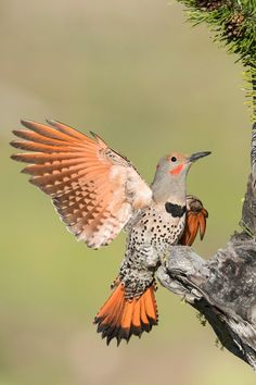 Did you know British Colombia is a summer breeding ground for Northern Flickers?⠀ Zachary Webster's ( stunning photo was named one of the top 100 shots of this year's in the youth category. Photography Awards, Wildlife Photography, Amazing Photography, Ontario Birds, Northern Flicker, Most Beautiful Birds, Pretty Birds, Animals Amazing, Pretty Animals