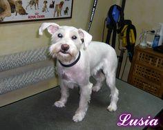 Lusia - Psi Fryzjer Snow Star on Psi Fryzjer Toruń - Salon Psiej Urody Snow Star w Toruniu  http://psiafryzurka.pl/social-gallery/lusia-psi-fryzjer-snow-star