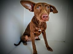 ~~DEADLINE IS MONDAY 07/18/16 CLOSE OF BUSINESS !!~~This DOG - ID#A463659 I am a female, chocolate Labrador Retriever. The shelter staff think I am about 1 year old. I have been at the shelter since Jul 12, 2016. Harris County Public Health and Environmental Services. https://www.facebook.com/harriscountyanimalshelterpetshouston/videos/1181353325261797/